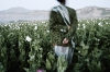 A man walking in the poppy fields and holding a rosary, called a 'tasbih' in his hands. Badakhshan From Unordinary Lives series, Afghanistan 2003-2009